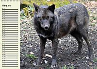 Im Rudel Zuhause - Der Wolf (Wandkalender 2019 DIN A2 quer) - Produktdetailbild 3