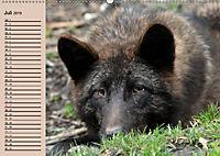 Im Rudel Zuhause - Der Wolf (Wandkalender 2019 DIN A2 quer) - Produktdetailbild 7