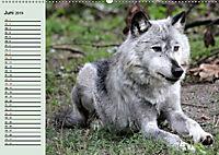Im Rudel Zuhause - Der Wolf (Wandkalender 2019 DIN A2 quer) - Produktdetailbild 6
