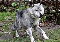 Im Rudel Zuhause - Der Wolf (Wandkalender 2019 DIN A3 quer) - Produktdetailbild 1