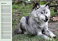Im Rudel Zuhause - Der Wolf (Wandkalender 2019 DIN A3 quer) - Produktdetailbild 6