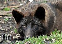 Im Rudel Zuhause - Der Wolf (Wandkalender 2019 DIN A4 quer) - Produktdetailbild 10