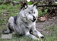 Im Rudel Zuhause - Der Wolf (Wandkalender 2019 DIN A4 quer) - Produktdetailbild 6
