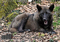 Im Rudel Zuhause - Der Wolf (Wandkalender 2019 DIN A4 quer) - Produktdetailbild 7