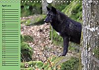 Im Rudel Zuhause - Der Wolf (Wandkalender 2019 DIN A4 quer) - Produktdetailbild 8