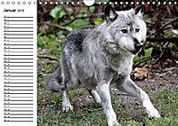 Im Rudel Zuhause - Der Wolf (Wandkalender 2019 DIN A4 quer) - Produktdetailbild 12