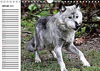 Im Rudel Zuhause - Der Wolf (Wandkalender 2019 DIN A4 quer) - Produktdetailbild 1