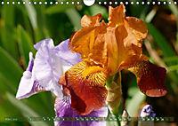 Iris - mondäne Gartenschönheit (Wandkalender 2019 DIN A4 quer) - Produktdetailbild 3