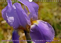 Iris - mondäne Gartenschönheit (Wandkalender 2019 DIN A4 quer) - Produktdetailbild 9