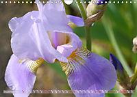 Iris - mondäne Gartenschönheit (Wandkalender 2019 DIN A4 quer) - Produktdetailbild 12