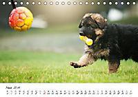 Junge Deutsche Schäferhunde (Tischkalender 2019 DIN A5 quer) - Produktdetailbild 3