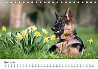 Junge Deutsche Schäferhunde (Tischkalender 2019 DIN A5 quer) - Produktdetailbild 4