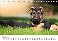 Junge Deutsche Schäferhunde (Tischkalender 2019 DIN A5 quer) - Produktdetailbild 8