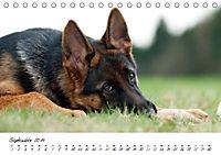 Junge Deutsche Schäferhunde (Tischkalender 2019 DIN A5 quer) - Produktdetailbild 9