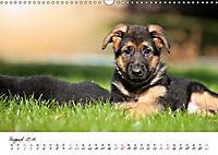 Junge Deutsche Schäferhunde (Wandkalender 2019 DIN A3 quer) - Produktdetailbild 8