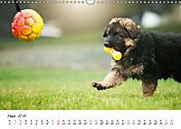 Junge Deutsche Schäferhunde (Wandkalender 2019 DIN A3 quer) - Produktdetailbild 3