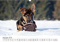 Junge Deutsche Schäferhunde (Wandkalender 2019 DIN A3 quer) - Produktdetailbild 12