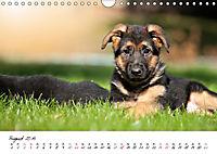 Junge Deutsche Schäferhunde (Wandkalender 2019 DIN A4 quer) - Produktdetailbild 8