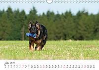 Junge Deutsche Schäferhunde (Wandkalender 2019 DIN A4 quer) - Produktdetailbild 7