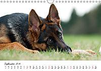 Junge Deutsche Schäferhunde (Wandkalender 2019 DIN A4 quer) - Produktdetailbild 9
