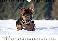 Junge Deutsche Schäferhunde (Wandkalender 2019 DIN A4 quer) - Produktdetailbild 12