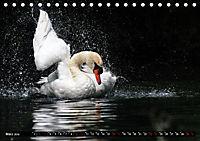 Kalender - Das Morgenbad des Höckerschwans (Tischkalender 2019 DIN A5 quer) - Produktdetailbild 3