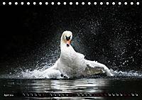 Kalender - Das Morgenbad des Höckerschwans (Tischkalender 2019 DIN A5 quer) - Produktdetailbild 4