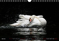 Kalender - Das Morgenbad des Höckerschwans (Wandkalender 2019 DIN A4 quer) - Produktdetailbild 6