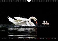 Kalender - Das Morgenbad des Höckerschwans (Wandkalender 2019 DIN A4 quer) - Produktdetailbild 1