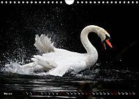 Kalender - Das Morgenbad des Höckerschwans (Wandkalender 2019 DIN A4 quer) - Produktdetailbild 5
