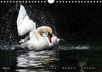 Kalender - Das Morgenbad des Höckerschwans (Wandkalender 2019 DIN A4 quer) - Produktdetailbild 3