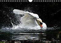 Kalender - Das Morgenbad des Höckerschwans (Wandkalender 2019 DIN A4 quer) - Produktdetailbild 2