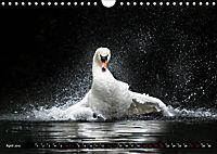 Kalender - Das Morgenbad des Höckerschwans (Wandkalender 2019 DIN A4 quer) - Produktdetailbild 4