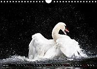 Kalender - Das Morgenbad des Höckerschwans (Wandkalender 2019 DIN A4 quer) - Produktdetailbild 7