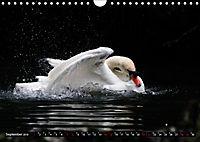 Kalender - Das Morgenbad des Höckerschwans (Wandkalender 2019 DIN A4 quer) - Produktdetailbild 9