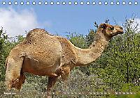 Kamele - Die freundlichen Gepäckträger (Tischkalender 2019 DIN A5 quer) - Produktdetailbild 8