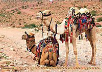 Kamele - Die freundlichen Gepäckträger (Wandkalender 2019 DIN A2 quer) - Produktdetailbild 12