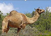 Kamele - Die freundlichen Gepäckträger (Wandkalender 2019 DIN A2 quer) - Produktdetailbild 8