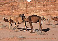 Kamele - Die freundlichen Gepäckträger (Wandkalender 2019 DIN A4 quer) - Produktdetailbild 4