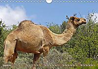 Kamele - Die freundlichen Gepäckträger (Wandkalender 2019 DIN A4 quer) - Produktdetailbild 8