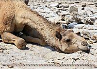Kamele - Die freundlichen Gepäckträger (Wandkalender 2019 DIN A2 quer) - Produktdetailbild 3