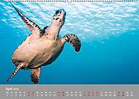 Karibische Meeresschildkröten (Wandkalender 2019 DIN A2 quer) - Produktdetailbild 6