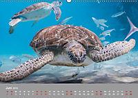 Karibische Meeresschildkröten (Wandkalender 2019 DIN A2 quer) - Produktdetailbild 1