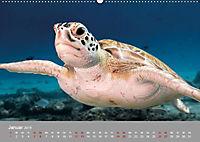 Karibische Meeresschildkröten (Wandkalender 2019 DIN A2 quer) - Produktdetailbild 11