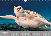 Karibische Meeresschildkröten (Wandkalender 2019 DIN A4 quer) - Produktdetailbild 1