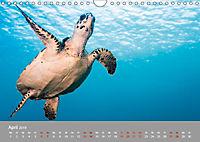 Karibische Meeresschildkröten (Wandkalender 2019 DIN A4 quer) - Produktdetailbild 4
