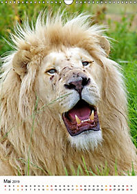 KATZEN PORTRAITS Weiße Löwen aus Afrika (Wandkalender 2019 DIN A3 hoch) - Produktdetailbild 5