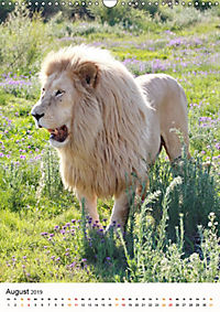 KATZEN PORTRAITS Weiße Löwen aus Afrika (Wandkalender 2019 DIN A3 hoch) - Produktdetailbild 8
