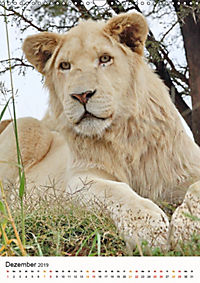 KATZEN PORTRAITS Weiße Löwen aus Afrika (Wandkalender 2019 DIN A3 hoch) - Produktdetailbild 12