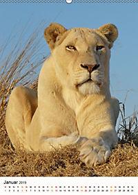 KATZEN PORTRAITS Weisse Löwen aus Afrika (Wandkalender 2019 DIN A2 hoch) - Produktdetailbild 1